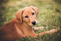 Nelly-2web (ArmanWerthPhotography) Tags: foxredlab armanwerthphotography puppy dog cute nelly