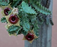 Lifesaver Cactus (ACEZandEIGHTZ) Tags: huernia zebrina cactus nikon d3200 plant macro closeup lifesaver red yellow