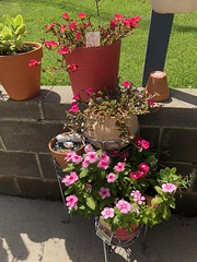 c2018 June 18, Purslane Red, yellow, green & Impatiens (King Kong 911) Tags: flowers plants blooms yellow peach green elephant ears pots growing