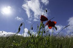 20180618_Poppies (Damien Walmsley) Tags: poppies sun campus birmingham universityofbirmingham bluesky clouds