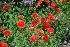Маки, Дім, сад, город Ukraine InterNetri 157