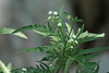 Santa Maria Feverfew (Parthenium hysterophorus) (Mary Keim) Tags: taxonomy:binomial=partheniumhysterophorus centralflorida marykeim orlandowetlandspark