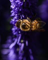 Spiralling honey bee (PChamaeleoMH) Tags: garden home honeybees insects lavender macro