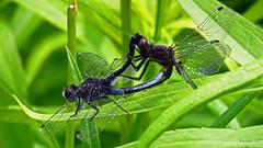 Mating Dot-tailed Whiteface IMG_5583 (Jennz World) Tags: ©jennifermlivick caltonswamp aylmer ontario canada dragonfly damselfly