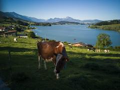 Lac et pâturage (Pierre Schwaller (lyoba.ch)) Tags: vaches lac lacdelagruyère gruyère fribourg suisse pierreschwaller schwaller huaweip20pro pontlaville