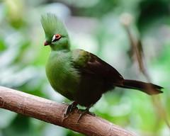 Rock-star style...in feathers (R.A. Killmer) Tags: guinea turaco bird interesting green feathers beak beauty mohawk wings fly bright