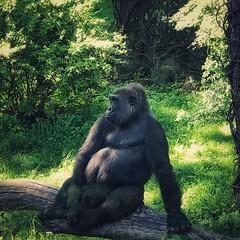 contemplation (m_big_b) Tags: animal 7dwf bronxzoo gorilla