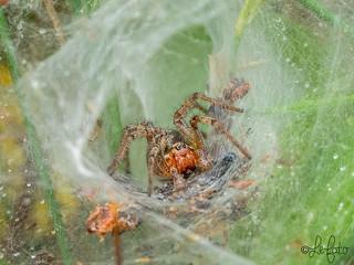 Labrynth Spider