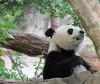 Bei, with a sprig of boo (heights.18145) Tags: visitthezoo national zoo washingtondc animals pandas fun cute bamboo beibei tiantian meixiang