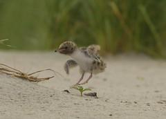 Common tern chick (suraj.ramamurthy) Tags: nikkor500mm nikond500 longislandbeaches commontern