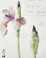 Iris. Crayon + aquarelle (cecile_halbert) Tags: dessin aquarelle iris fleur botanique croquis watercolor draw sketch sketching drawing sketchbook botanical bloom flower painting