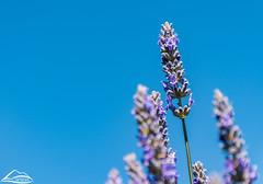 Lavender (Washington State Department of Agriculture) Tags: georgewashington grantcounty june summer washingtonstatedepartmentofagriculture agriculture lavendar spring washington washingtongrown washingtonstate