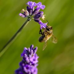 _DSF3281-XT (laurentspinner) Tags: abeille animaux fleurs insectes lavande lieux macro valensole xt