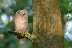 'The Watcher' (benstaceyphotography) Tags: staffordshire nature owl birdofprey sunlight leaves morning tawny strixaluco tawnyowl woodland trees bokeh wildlife nikonuk