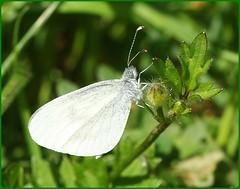 Wood White II (glostopcat) Tags: woodwhitebutterfly butterfly insect invertebrate macro glos june summer forestofdean cinderford linearpark