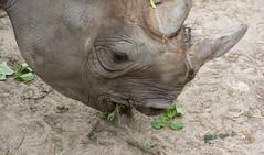 kibbibi crunches- Cleveland Zoo (Tim Evanson) Tags: clevelandzoo clevelandmetroparks clevelandmetroparkszoo clevelandohio zoo dicerosbicornismichaeli easternblackrhino rhino blackrhino