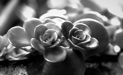 Whispers in the Dark (Vanessa wuz Here) Tags: 90mm 7dwf bw succulent backlighting garden shadows vanessasbackyard copyrightvanessabartosek