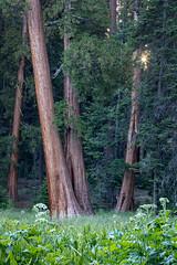 Meadow Afternoon (Kirk Lougheed) Tags: california giantforest roundmeadow sequoianationalpark sequoiadendrongiganteum sierraredwood usa unitedstates cowparsnip flower giantredwood giantsequoia landscape meadow outdoor sequoia tree