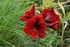 Special Red Lily (npbiffar) Tags: garden outdoor flower lily red macro bright tamron npbiffar nikon 60mm d5300 grass ngc coth5