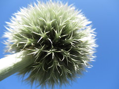 Thistle'll be a good one (Claire Wroe) Tags: thistle plant nature natural manchester chorlton walk walking summer green spike stalk stem sky blue mersey valley macro spiky