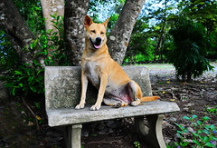 ,, Long Live The Queen ,, (Jon in Thailand) Tags: k9 mama queenofthejungle concretebench jungle themonkeytemple nikon nikkor d300 175528 green blue jungletrees dogsmile dogears happydog smilingdog dognose dogeyes dog thequeensthrone thequeenofhearts tree littledoglaughedstories