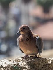 LRa Jordan 2017-4230479 (hunbille) Tags: jordan amman bird pigeon jabal alweibdeh weibdeh challengeyouwinner cyunanimous