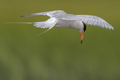 Forster's Tern (Kevin Fox D500) Tags: forsterstern tern flight flying bird birding birdwatching birds edwinbforsythenationalwildliferefuge edwinbforsythe edwin forsythe nature nikond500 nikon newjersey sigma150600sport sigma