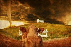 Perspective (Alan McRae) Tags: texture photoshop surreal humor tornado farm cow sky