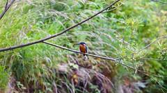Kingfisher (buzzer1066) Tags: kingfisher