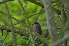 Juvenile Blackcap (JerryGoulet) Tags: rspb blackcap sigma faces out animal spring young juvenile bird tree foliage nature colour zoom telephoto leaf wild outdoors individuality portrait trees uk green infinitexposure colours outside lights wildlife wilderness colors birds rspbfendraytonlakes