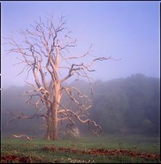 dead tree (steve-jack) Tags: hasselblad 501cm 80mm cb fuji velvia 100f film tetenal e6 kit mf 6x6 epson v500