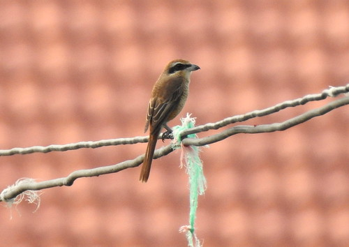 Brown Shrike Outside Hua Hin - Thailand