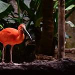 Scarlet Ibis thumbnail