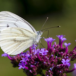 Butterfly having Lunch thumbnail