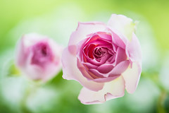 rose 0929 (junjiaoyama) Tags: japan flower rose plant summer pink bokeh macro