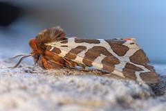 Garden Tiger (Arctia caja) moth at rest (Ian Redding) Tags: arctiacaja tigermoth erebidae wildlife beautiful atrest nature british european hairy fauna insect commontiger uk moth somerset