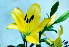 Luminous in all (Pensive glance) Tags: lily lilium lys fleurdelys flower fleur plant plante
