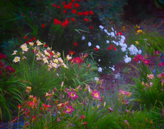 In the Land of Faerie (Colormaniac too - Many thanks for your visits!) Tags: garden moonlitgarden flowers summer july blooming blooms sequim olympicpeninsula washingtonstate pacificnorthwest topazstudio flypapertextures netartll hss