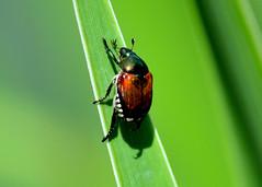 Garden Chafer Beetle (Larry Wilkin) Tags: photo camera nikon nikond5200 nikonnikkor33300mm nature animal insect beetle scarab gardenchafer phylloperthahorticola macro worldupclose