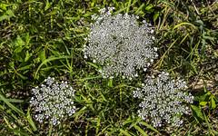 Queen Anne's Lace (Daucus carota) (woodchuckiam) Tags: queenanneslace daucuscarota summer fall biennial nonnative wildflower flower plant crossplainsstatepark undeveloped danecounty wisconsin woodchuckiam