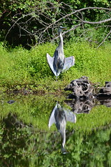 Posing (Neal D) Tags: bc abbotsford fishtrapcreekpark bird heron greatblueheron ardeaherodias reflection