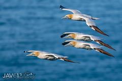 Return to Gannet colony_9068 (George Vittman) Tags: bird gannet colony return flight ocean atlanticocean nikonpassion wildlifephotography jav61photography jav61 fantasticnature