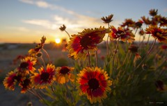 Summer (Clayton Perry Photoworks) Tags: vancouver bc canada richmond summer steveston garrypointpark explorecanada explorebc painteddaisy sunset