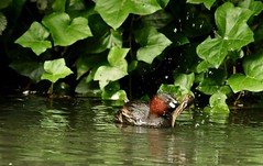 shake it all over (westoncfoto) Tags: cromfordcanal matlock derbyshire canal industrial dabchick littlegrebe babies fish