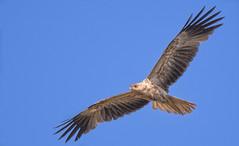 whistling kite (Fat Burns ☮ (gone bush)) Tags: whistlingkite haliastursphenurus kite raptor bird australianbird fauna australianfauna hawk nikond500 sigma150600mmf563dgoshsmsports sigmatc140114xteleconverternik barcaldine lagooncreek