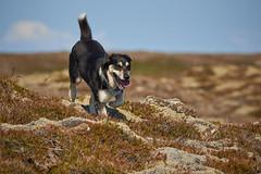 19-july-kotlugengi-patterson_060 (Stefán H. Kristinsson) Tags: dogs hundar hundur playing reykjanes july júlí 2018 nikond800 nikon70200f4 sunny summer