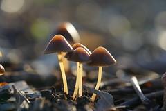 Mushrooms (Macro) (Jocarlo) Tags: flickrclickx flickraward flickrstruereflection1 flickrphotowalk macro macros macrophotographers macrofotografía macrofotografie macrography macrophotography macrophotografer photomacrography makro makros sonya7 sony ilce a7 fe90mm nationalgeographic ngc nature natura natur naturaleza hongos hongo mushrooms mushroom mushies mushie seta setas setes afotando bosque crazygenius crazygeniuses creative creativa creativeartphotography jocarlo melilla parques parque mycology micologia micología pilze pilce fotografía fotografias fotos photography funghi photos planta plantas plant plants flickr