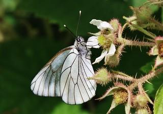 Baum-Weißling (Aporia crataegi)
