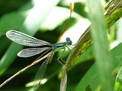 P1190096  SLENDER SPREADWING (birder2015 Toronto, Canada) Tags: slenderspreadwing damselfly odonate