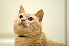 D60_1132 (stephenkirsch) Tags: nikon d600 70200mm afs g f28 oliver cat orange tabby cute kitty